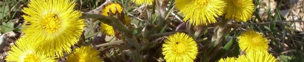 Huflattich - Blüte